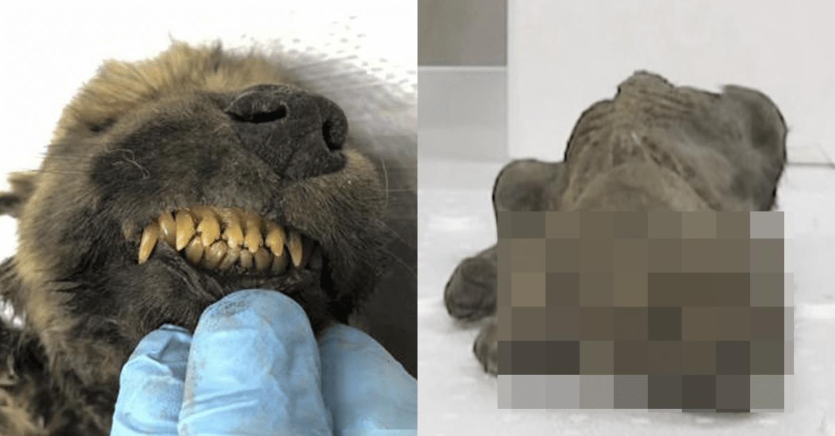 러시아에서 발견된 '1만 8천년된' 강아지 모습