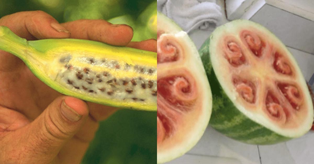 인간이 개량해서 먹고 있는 식물들 원래 모습