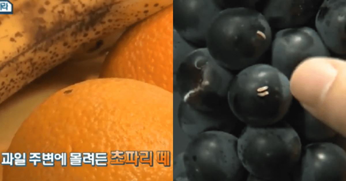 '초파리' 앉아있던 과일을 먹으면 안되는 이유