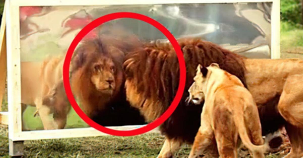 사자에게 절대 거울을 보여주면 안되는 이유